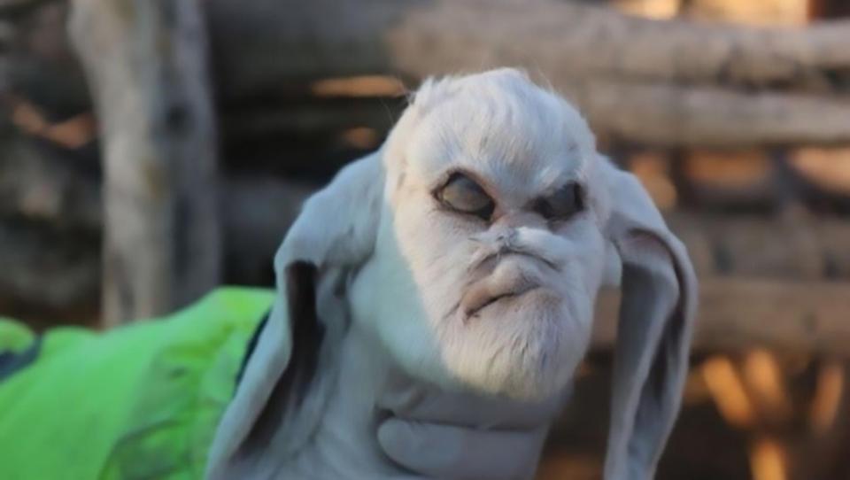 baby goat devil face, baby goat devil face argentina, baby goat devil face argetina pictures, baby goat devil face argentina video