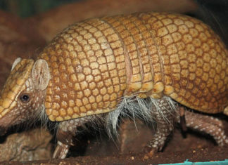 armadillo bullet texas, armadillo bullet texas video, An armadillo deflected a gun bullet to wound a man in Texas, man wounded after bullet ricochet on armadillo shell,