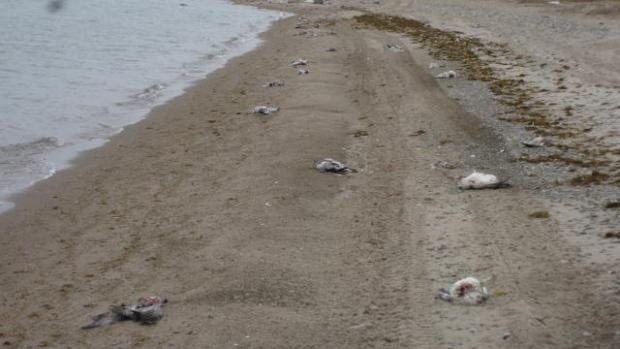 dead snow geese nunavut canada, dead snow geese nunavut canada mystery, Mysterious die-off kills thousands of snow geese in Nunavut Canada.
