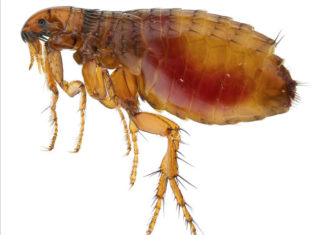 fleas plague arizona, fleas plague arizona video, fleas plague arizona august 2017, Fleas test positive for bubonic plague in Arizona in August 2017