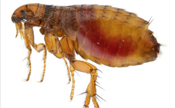 fleas plague arizona, fleas plague arizona video, fleas plague arizona august 2017, Fleas test positive for bubonic plague in Arizona in August 2017