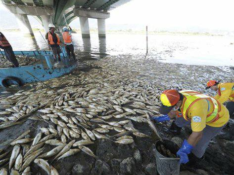 taiwan fish mass die-off, taiwan fish mass die-off august 2017, taiwan fish mass die-off video, taiwan fish mass die-off picture, taiwan fish mass die-off august 2017 video picture
