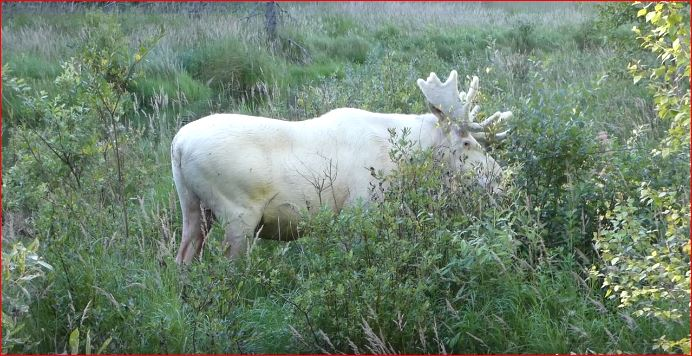 white moose sweden, white moose sweden video, white moose sweden pictures, white moose sweden august 2017