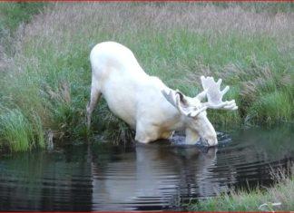 white moose sweden, white moose sweden video, white moose sweden pictures, white moose sweden august 2017