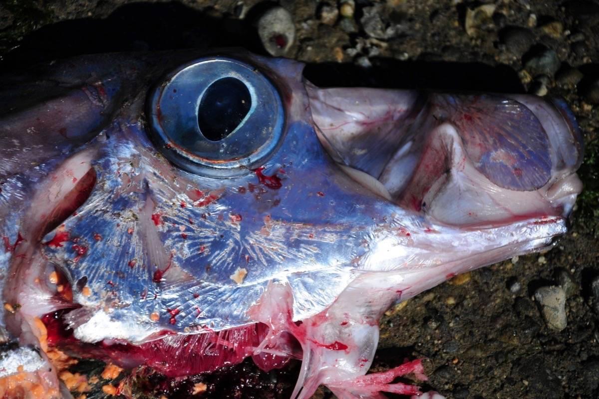 dead oarfish cascadia, dead oarfish cascadia pictures, dead oarfish cascadia video