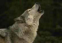 howling wolf, howling wolf scotland, msterious howling sound scotland video