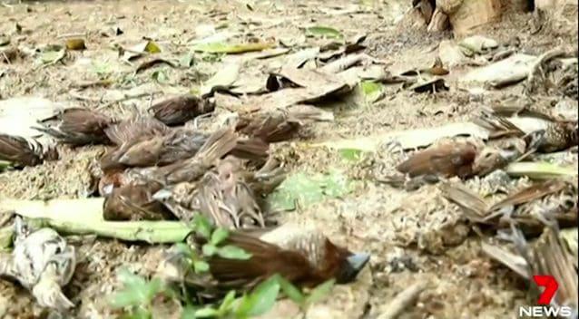 thousand birds asphyxiated bali agung volcano, agung volcano asphyxiates thousands of birds bali, bali volcanic eruption kills thousands of birds