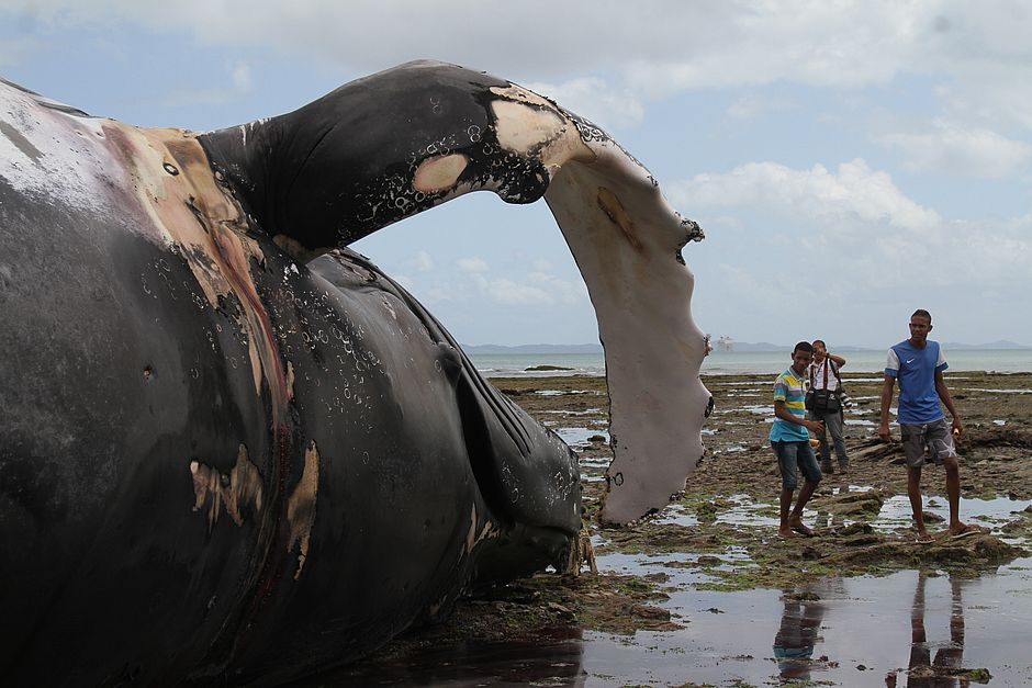 Record whale strandings in Brazil, Record whale strandings in Brazil 2017, Record whale strandings in Brazil pictures, Record whale strandings in Brazil video