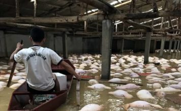 6000 pigs drowned by floods in vietnam, pigs die after drowning in floodwaters in vietnam, vietnam pig mass die-off