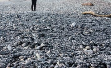 Tens of thousands of jellyfish-like Velella wash ashore dead on beaches in coastal Greymouth New Zealand