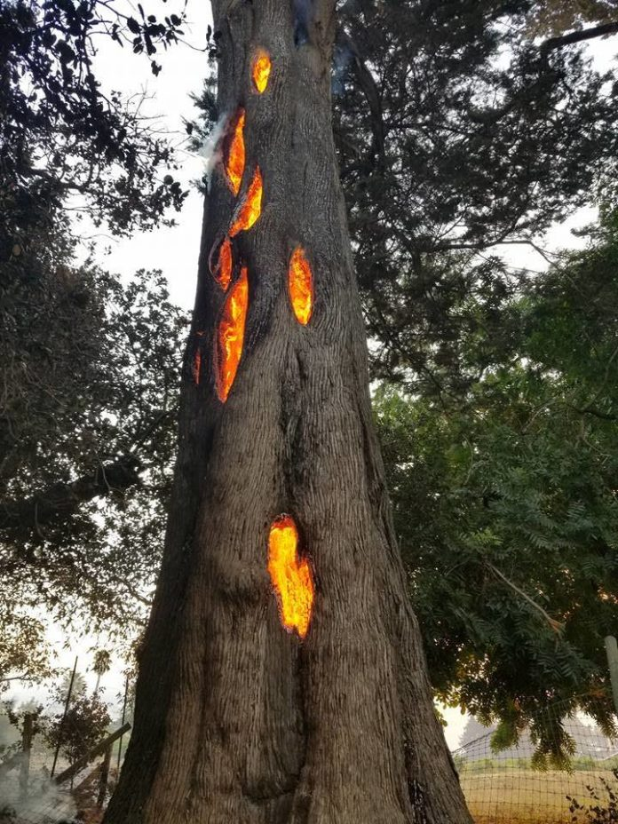 fire burns from inside of a tree in Schellville California video, fire burns from inside of a tree in Schellville California picture, fire burns from inside of a tree in Schellville California