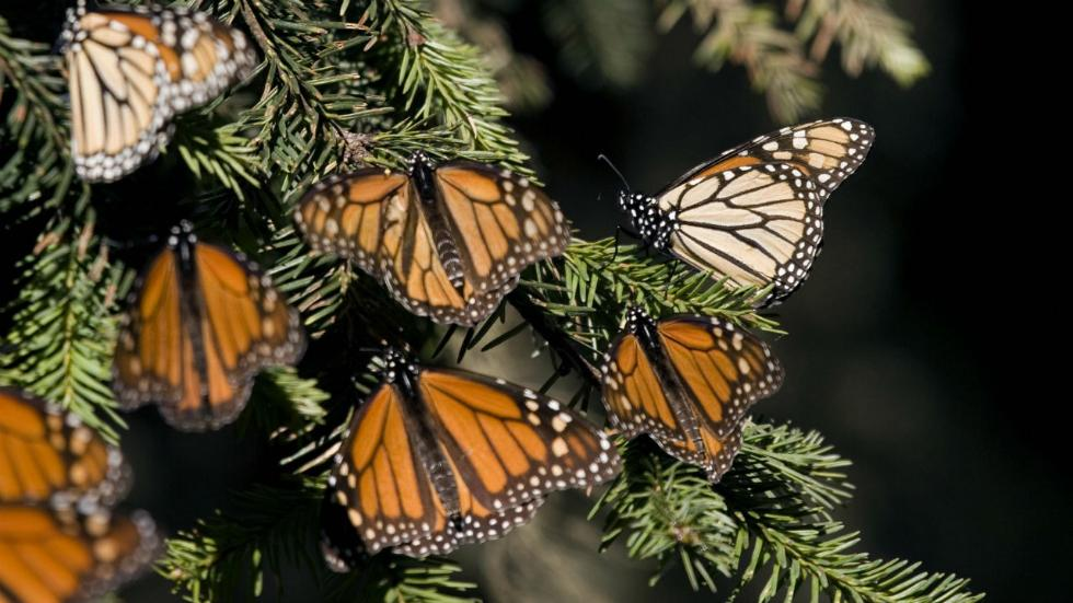monarch butterfly migration, monarch butterfly migration 2017, monarch butterflies blocked northern usa and canada, delayed migration monarch butterflies, monarch butterflies blocked by anomalous weather events in Canada, earth changes block monarch butterfly migration 2017