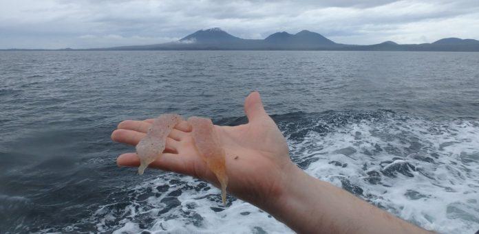 pyrosome invasion, pyrosome invasion alaska, alaska pyrosome invasion, explosion in the number of pyrosomes off Alaska