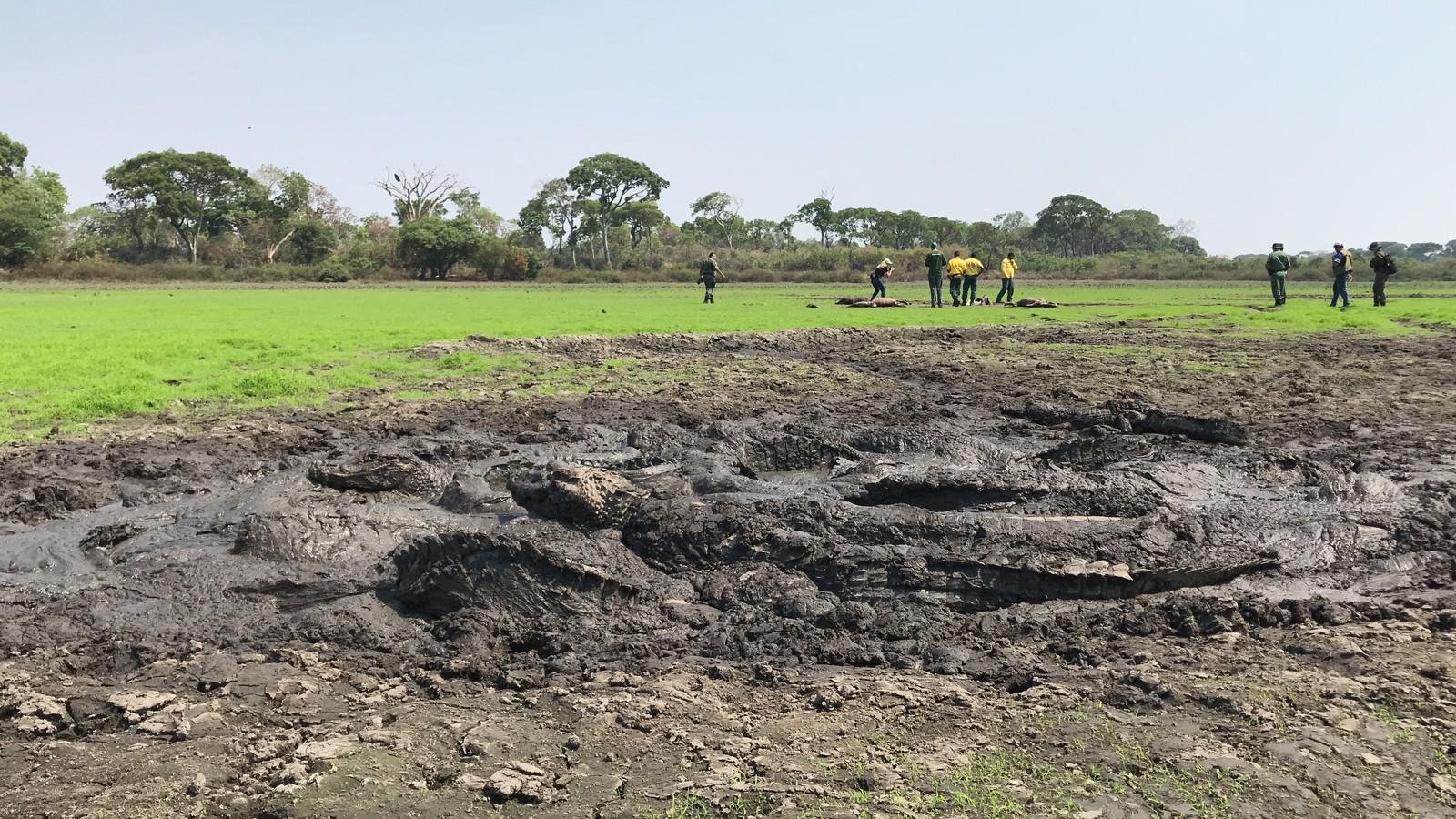 thousand alligators dead brazil