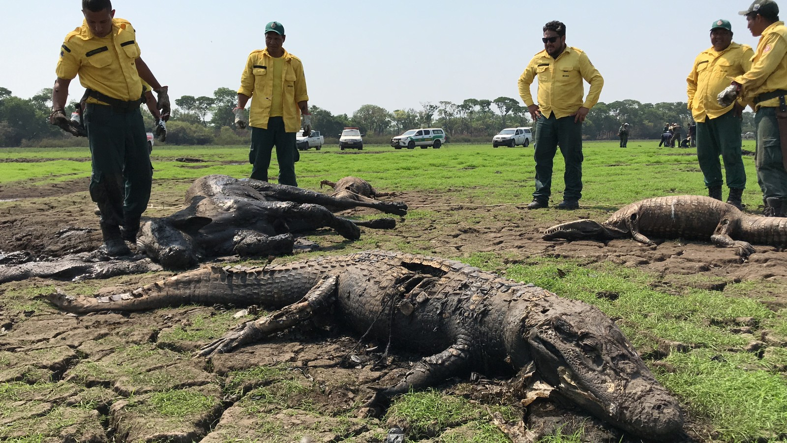thousand alligators dead brazil