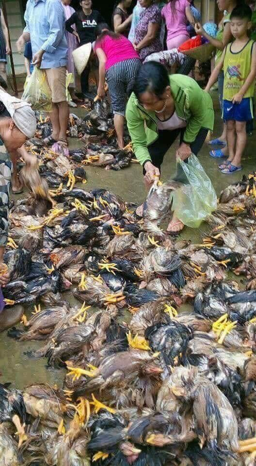 The floods in Vietnam also killed thousands of chicken, thousands of chicken die floods vietnam