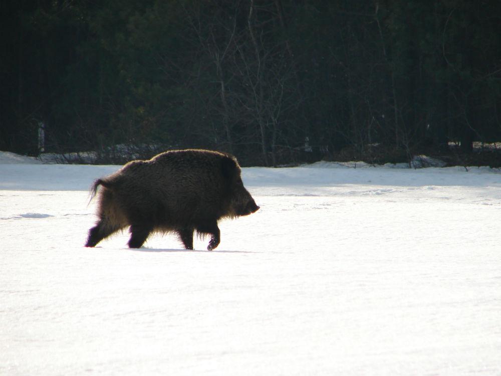 wild boar radioactivity sweden, radioactive wild bors sweden, sweden radioactive wild boars