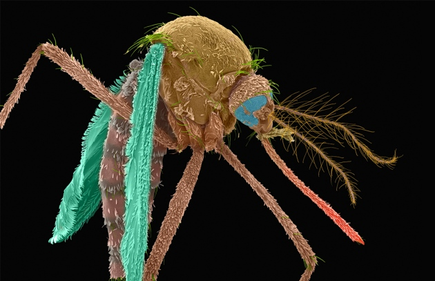 US government approves bacteria weaponized mosquitoes to fight disease, bacteria mosquitoes, us, usa approves bacteria to fight mosquitoes