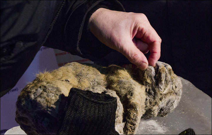 cave lion siberia, cave lion siberia picture, Perfectly preserved cave lion discovered in Siberia