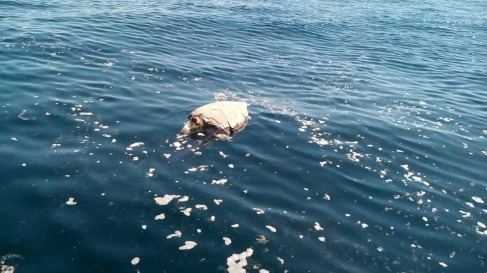 400 Dead sea turtles dound off El Salvador, Dead sea turtles dound off El Salvador on November 1 2017
