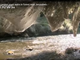 spiders weave giant webs in forest near Jerusalem, spiders weave giant webs in forest near Jerusalem video, spiders weave giant webs in forest near Jerusalem pictures