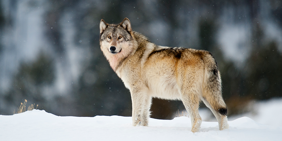 Third gray wolf killed in the USA in 2017, gray wolf found dead oregon, oregon gray wolf killed november 2017