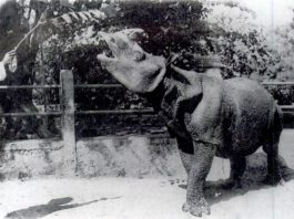 javan rhino, javan rhino extinct, javan rhino extinction