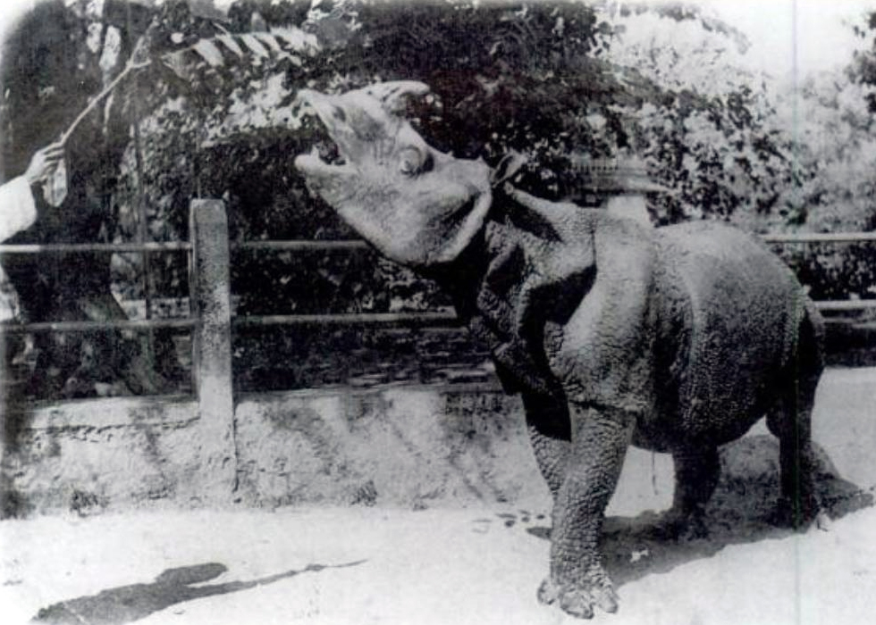 javan rhino, javan rhino extinct, javan rhino extinction