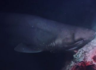 sharks attack submarine, Sharks attack submarine during footage of Blue Planet II video, sharks attack submarine video, sharks attack submarine bbc video, sharks attack submarine blue planett II video