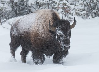 yellowstone snow, yellowstone snow pictures, yellowstone snow video, yellowstone snow november 2017