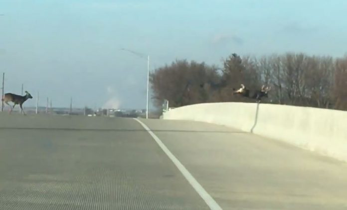 family of deer jump from a bridge in Iowa on Dec 10, deer jump over bridge, deer jump over bridge video