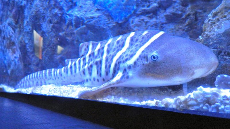 A female zebra shark in Australia has shocked scientists by producing three offspring after spending years away from her male partner. Subsequent analysis found that she had simply developed the ability to do it all on her own.