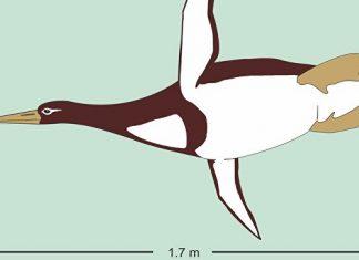 giant penguin new zealand, fossil giant penguin new zealand, giant penguin antarctica, new species giant penguin new zealand