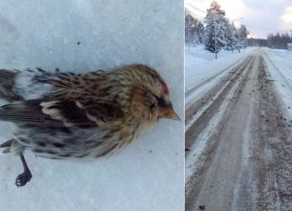 Hundreds of dead birds fall from sky on a road in Sweden, hundreds of dead birds fall from sky sweden, hundreds of dead birds fall from sky sweden pictures, hundreds of dead birds fall from sky sweden photo