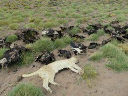 34 symbolic Andean condors found dead in Argentina, 34 symbolic Andean condors found dead in Argentina pictures, 34 symbolic Andean condors found dead in Argentina january 2018, 34 symbolic Andean condors found dead in Argentina video