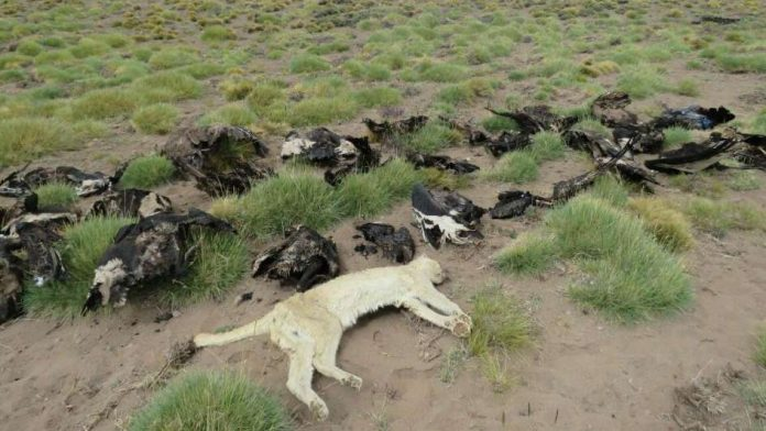 34 symbolic Andean condors found dead in Argentina, 34 symbolic Andean condors found dead in Argentina pictures, 34 symbolic Andean condors found dead in Argentina january 2018, 34 symbolic Andean condors found dead in Argentina video