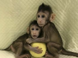 Cloned Monkeys, Cloned Monkeys china, China Cloned Monkeys