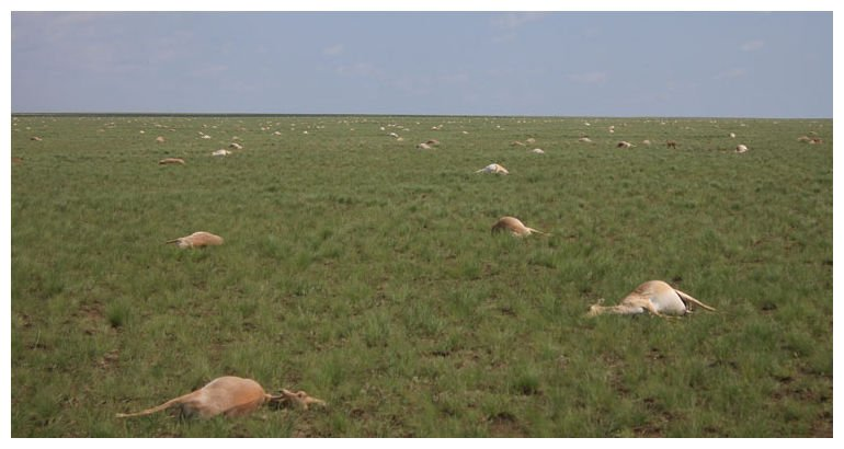 saiga antelope die-off, bacteria kills saiga antelopes, 200000 saiga antelopes killed by bacteria