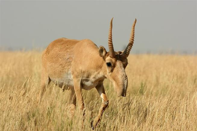 saiga antelopes mass die-off, saiga antelopes mass die-off, cause, saiga antelopes mass die-off mutant bacteria, saiga antelopes mass die-off caused by bacteria, saiga antelope die-off, bacteria kills saiga antelopes, 200000 saiga antelopes killed by bacteria