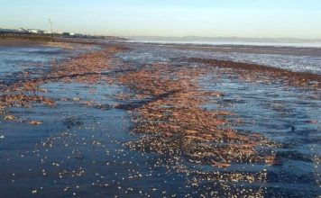 Thousands of starfish have been found washed up on Portobello beach in Edinburgh