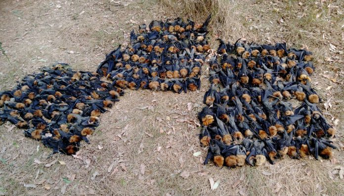 extreme heatwave in australia kills thousands of bats, thousands of bats fall from the sky near sydney, dead bats sydney heatwave, extreme heatwave kills thousands of bats near sydney autralia