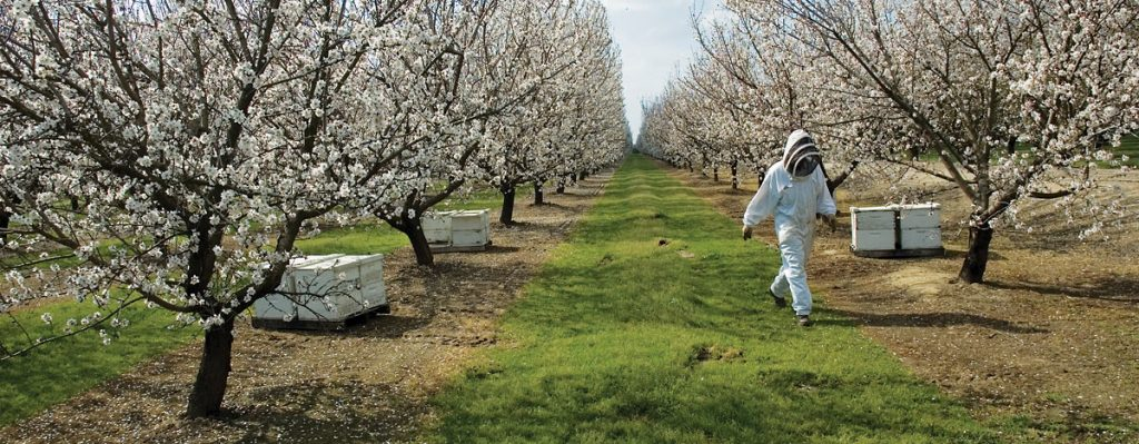 Growing California almonds takes more than half of US honeybees, almond bees, bees for almond pollination, bees pollinate almonds