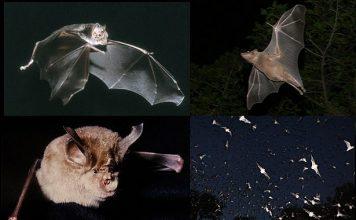 disease kills bats in amera, us bats die-off, bats in usa killed by disease