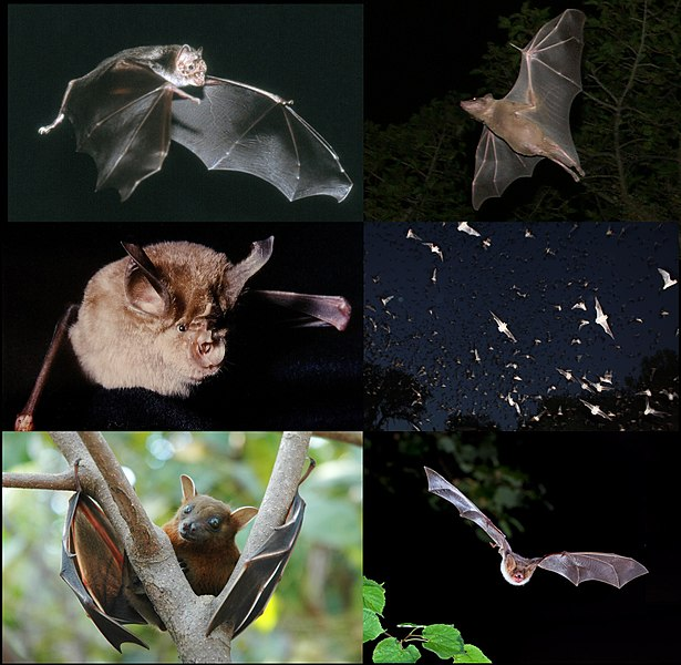 disease kills bats in amera, us bats die-off, bats in usa killed by disease