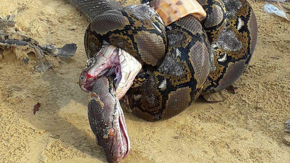 cobra python picture, king cobra python picture, cobra python dead picture