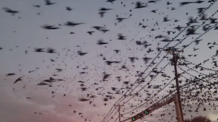 Thousands of birds invade the sky over Dallas on February 2 2018, Thousands of birds invade the sky over Dallas on February 2 2018 video, Thousands of birds invade the sky over Dallas on February 2 2018 pictures