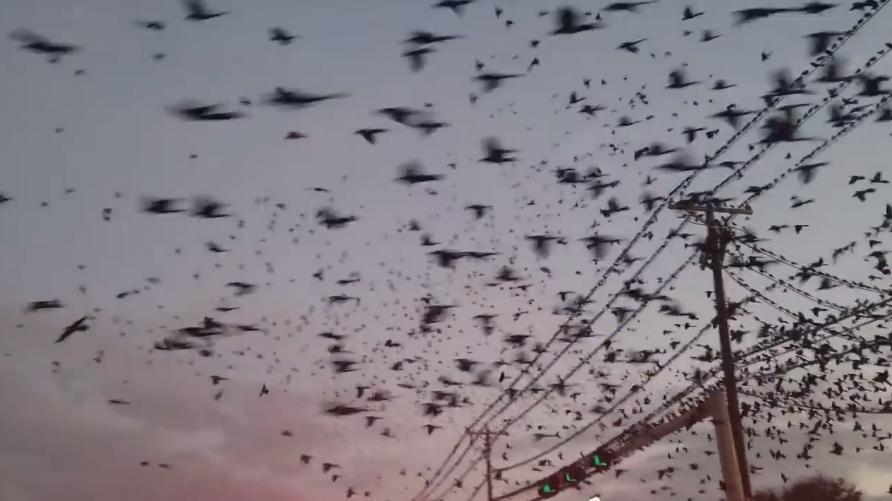 Thousands of birds invade the sky over Dallas on February 2 2018, Thousands of birds invade the sky over Dallas on February 2 2018 video, Thousands of birds invade the sky over Dallas on February 2 2018 pictures
