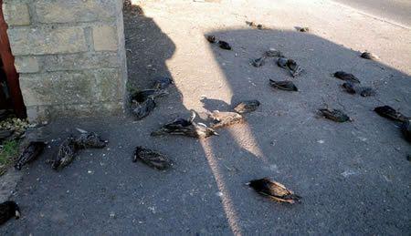 Hundreds of birds fall from the sky over Rome Italy, hundreds of birds drop from the sky roma italy, Roma, lo strano caso della moria di storni: «Decine di uccelli morti in terra»