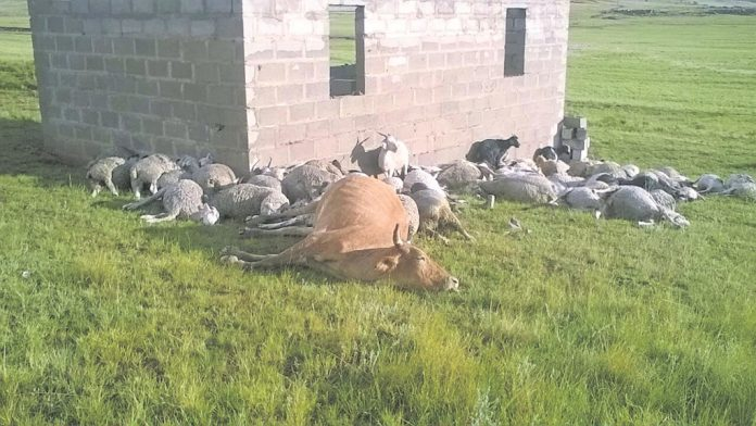 lightning kills animals namibia south africa, 89 farm animals were killed by lightning in South Africa