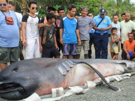 megamouth shark, megamouth shark philippines, megamouth shark february 2018